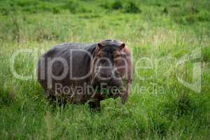 Hippopotamus munching mouthful of grass on plain