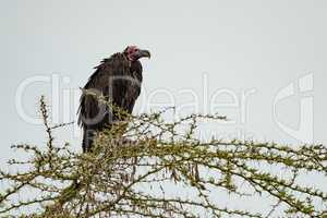 Lappet-faced vulture hunched over in acacia branch