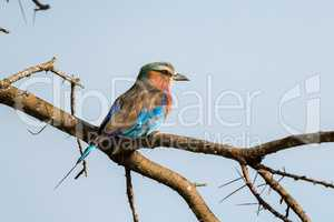 Lilac-breasted roller perched on thorny acacia branch