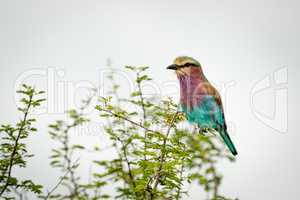 Lilac-breasted roller perches on branch of bush