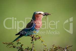 Lilac-breasted roller perched with grasshopper in beak