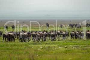 Line of white-bearded wildebeest migrate over grassland