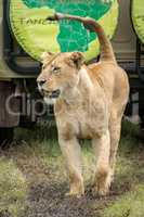 Lioness lifts head while passing safari truck