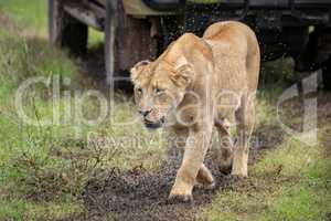 Lioness passes jeep in cloud of flies
