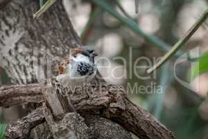 Male house sparrow perched on tangled branches