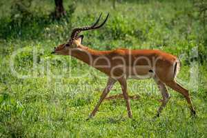 Male impala extends tongue to court female