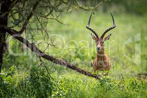 Male impala facing camera hides behind tree