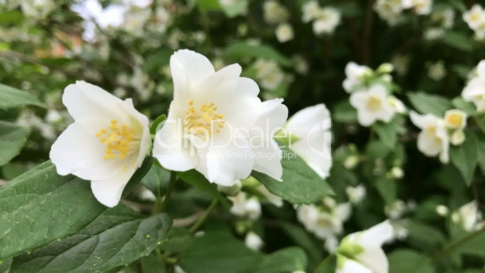 Jasmine White Flowers Royalty Free Video And Stock Footage