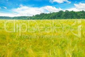 Field with ripe ears of wheat and blue cloudy sky.