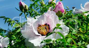 A beautiful peony flower in the summer garden. Wide photo.