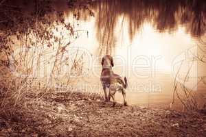 hunting dog stands at a lake