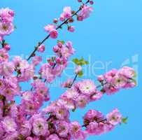 branches with pink flowers Louiseania triloba