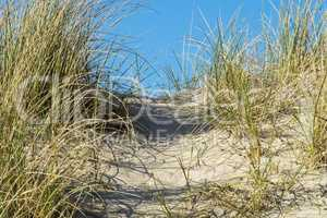 Dune Grasses - Allergens - Allergy
