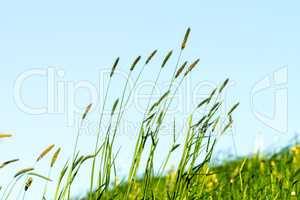 Flowering grass in detail - Allergens