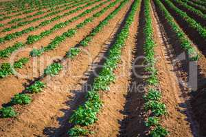 rows of young potato plants