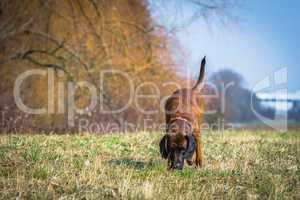 sweat hound following a trail