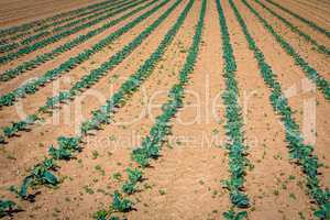 rows of young cabbage