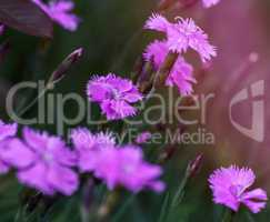 field with blooming pink carnations and green stems on a summer