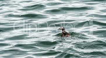 Small duck swimming in dark water and waves.