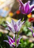 Flowering white and purple tulips in the garden