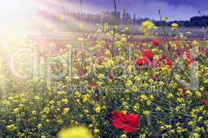 field with beautiful poppies and flowers in spring