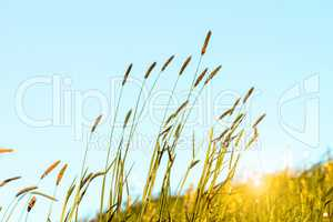 Flowering grass in detail
