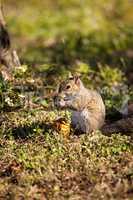 Brown Little Shermans fox squirrel Sciurus niger shermani
