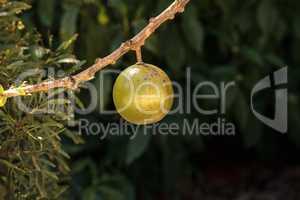 Fruit on Calabash tree Crescentia cujete