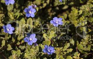 Blue dwarf morning glory Evolvulus flower