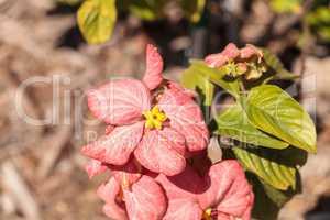 Pale pink flower Mussaenda philippica ?Dona Luz?