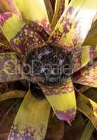 Bromeliad Neoregelia ?Lava? flowers bloom
