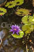 Blue Star Water lily Nymphaea nouchali blossoms