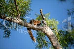 Relaxing big cypress fox squirrel Sciurus niger avicennia
