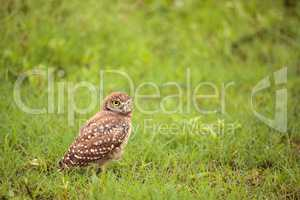 Adult Burrowing owl Athene cunicularia perched outside its burro