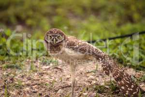 Baby Burrowing owl Athene cunicularia perched outside its burrow