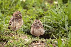 Family with Baby Burrowing owls Athene cunicularia perched outsi