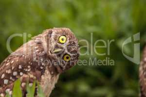 Funny Burrowing owl Athene cunicularia tilts its head outside it