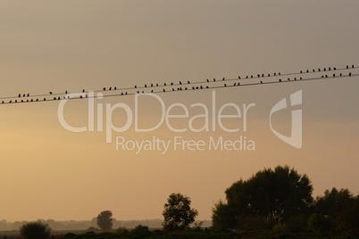 Vögel auf der Telefonleitung