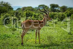 Male impala stands in profile in grassland