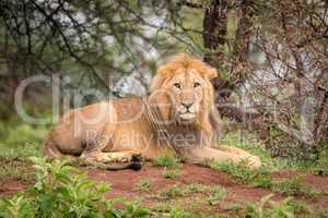 Male lion lying facing camera in woods