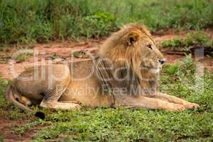 Male lion lying in clearing stares ahead