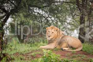 Male lion lying in woods on mound