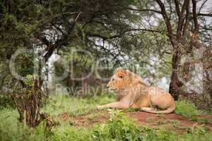 Male lion lying in woods on bank