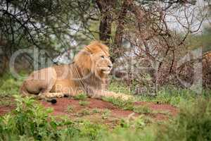 Male lion lying on bank in woods