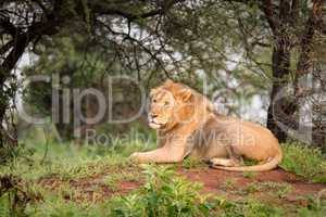 Male lion lying on mound in woods
