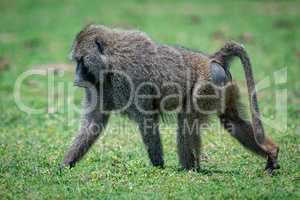 Male olive baboon crosses grassland in sunshine