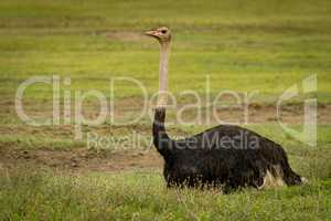 Male ostrich lying on grass facing ahead