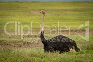 Male ostrich lying on grass looks ahead
