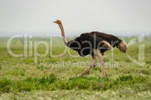 Male ostrich running on lush grassy plain