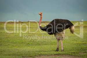 Male ostrich on grassland looks at camera